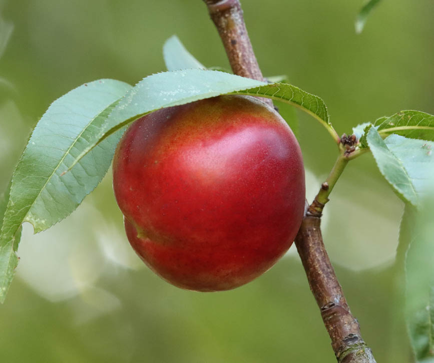 nectarina-frutas-antonio.jpg