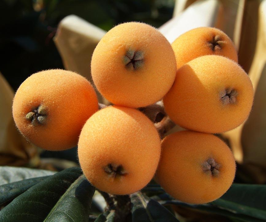 nispero-grupo-frutas-antonio.jpg